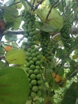 A sea grape tree dripping with unripened fruit.
